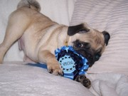 Milo back in december about 4 months old. won a rosette!