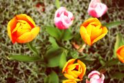 140 Tulipánové světlo