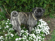 Yes, my brindle pug is a REAL pug!