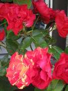 2012 roses that Bernie rescued and loved outside his door. HD
