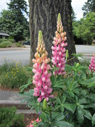 Berns loved these Lupins when they first bloomed in the back garden. HD
