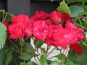 2012 Roses that BB rescued and loved outside his door. HD