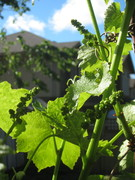 Lots of grapes coming!