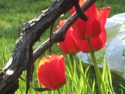 Your tulips and vines, Berns.