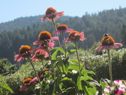 Coneflowers with afternoon bees!