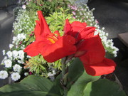 Your anniversary Canna lily.