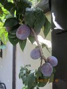 Your plums, Berns.