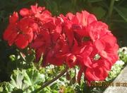 Des Geraniums dans ton jardin, Berns.