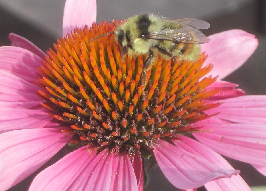 Coneflower-Bernie-bee