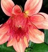 Late-blooming Dahlia, oct30, great colour, Berns.