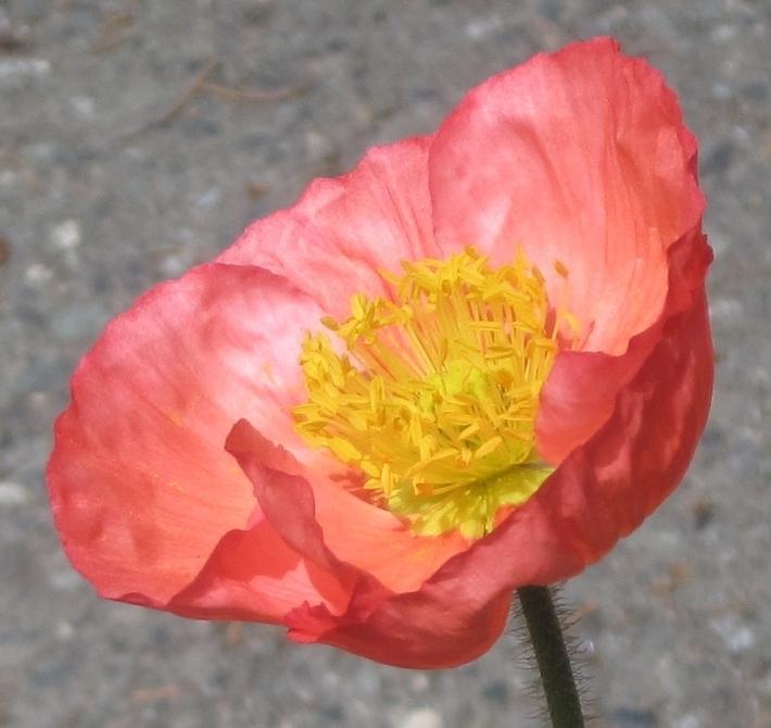 A Poppy for Berns.