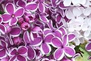 Lilacs-closeup-20160504