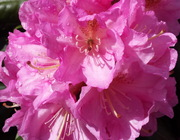 rhododendron-may16