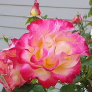 sc-rose-jul26