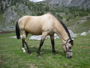 Mercantour's horse