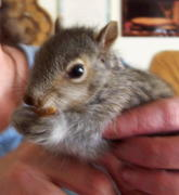 baby Squirrel Paulie