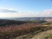 Gush Etzion vineyard