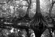 Cypress roots on Fisheating Creek