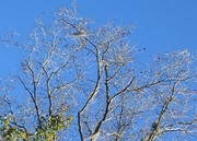 Treetops Bare