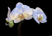 88White-Orchid-4d2b89872bd6c_hires