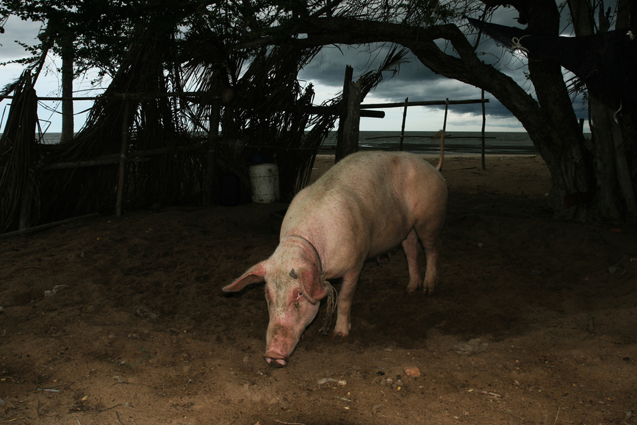 Twilight Pig #11