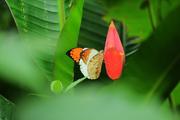 ปีกสวยขาวส้ม