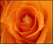 roses-bright-orange