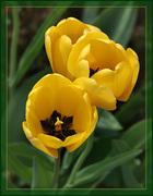55hitparade_tulips_2