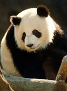 _eu_quero_um_panda_de_estimação
