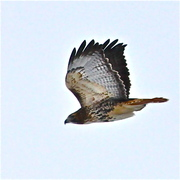 GOD's Red Tailed Hawk