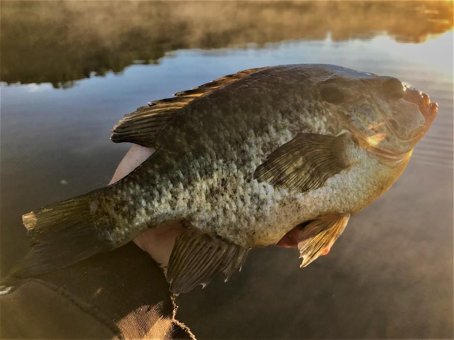 9.25'' Redear Sunfish (6-14-19)
