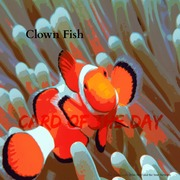"Card of the Day ""Clown Fish"""