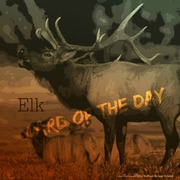 "Card o fthe Day ""Elk"""