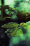 Φύλλα στο νερό