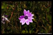 λουλουδι ανεμωνη