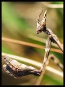 Το αλογάκι της Παναγίας (Mantis religiosa ή Mantodea)