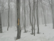 Trees in the fog..