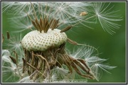 Natural Balance(Dandelion)