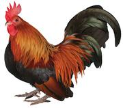 Lucky, our Japanese Cockerel