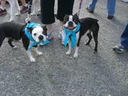 We Love Boston Terriers!
