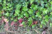 ivy vines