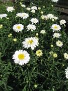 June shasta daisies