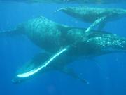 Cetacean Love