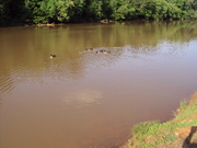 Mom & Babies in the South Fork River