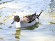 Duck at Bentley Sue Redshaw