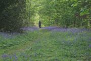 Bluebell woods Sue Redshaw