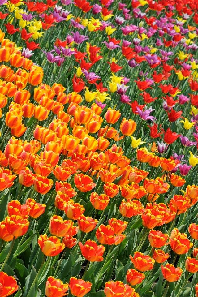 arundel tulips ella calder
