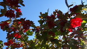Autumn Sun and Berries - Monks House Garden Rodmell