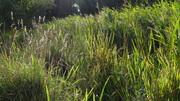 Autumn grasses River Ouse