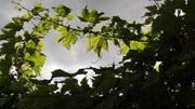 Autumn Vines Landport allotment